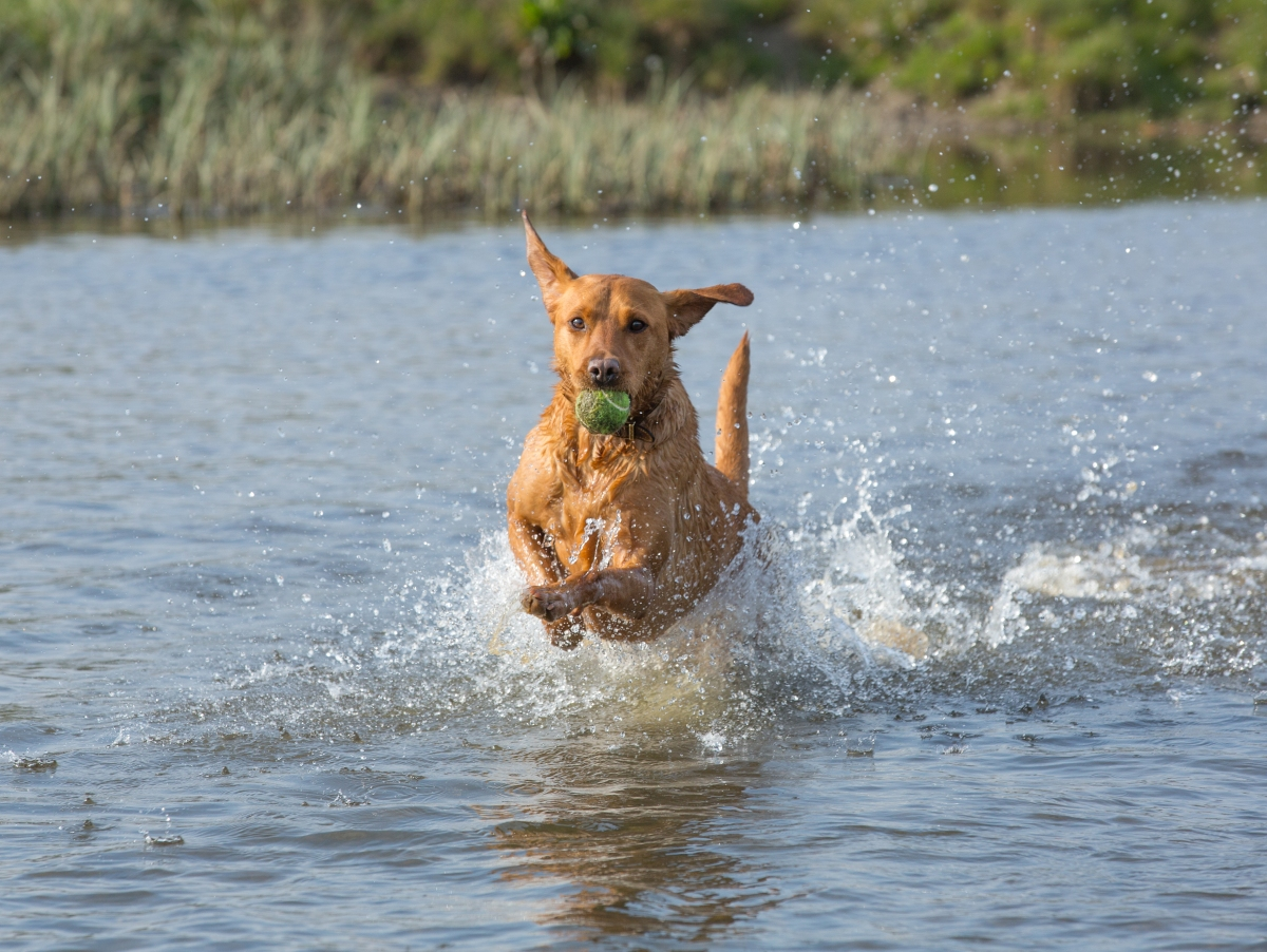 Rusty in The Splash - Sudbury Water Meadows