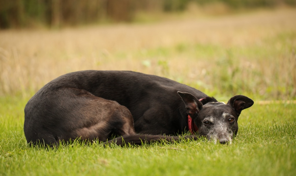 Greyhound resting