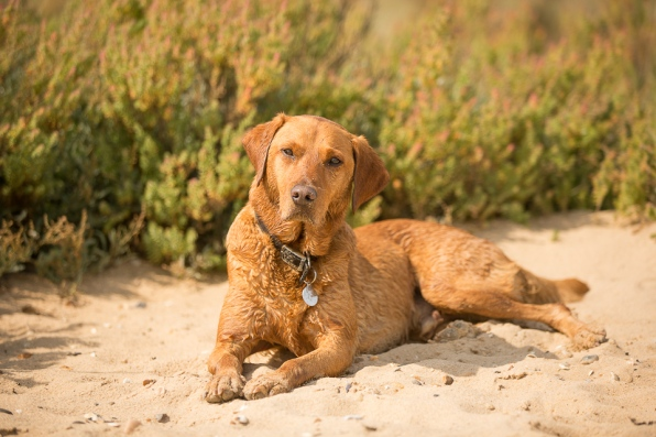 Rusty the Labrador at Cudmore Country park, East Mersea