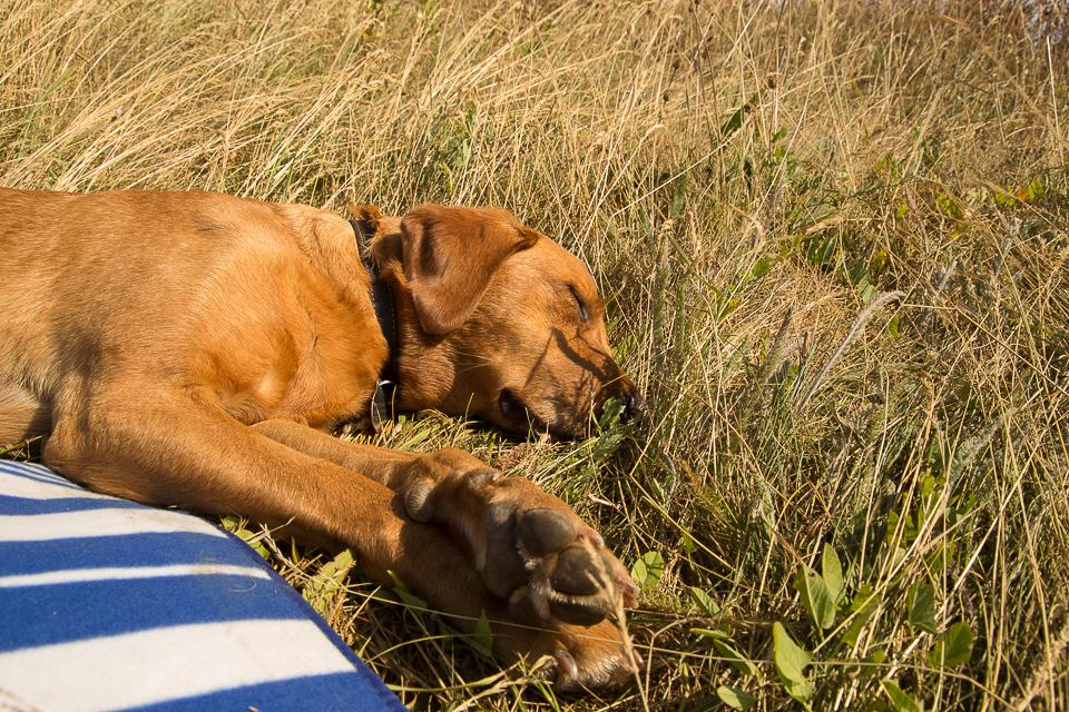 Rusty sleeping on the cliffs near Durdle Door
