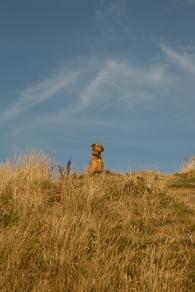 Rusty on the grassy cliffs near Durdle Door
