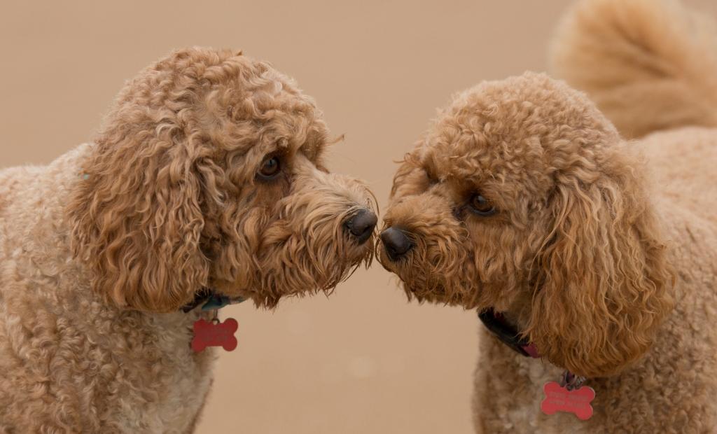 Teddy & Rosie Cavapoochons
