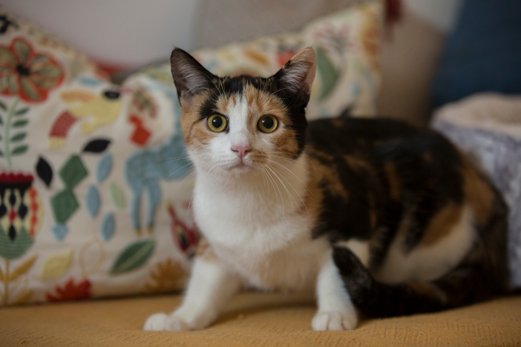 Cece the Calico Cat