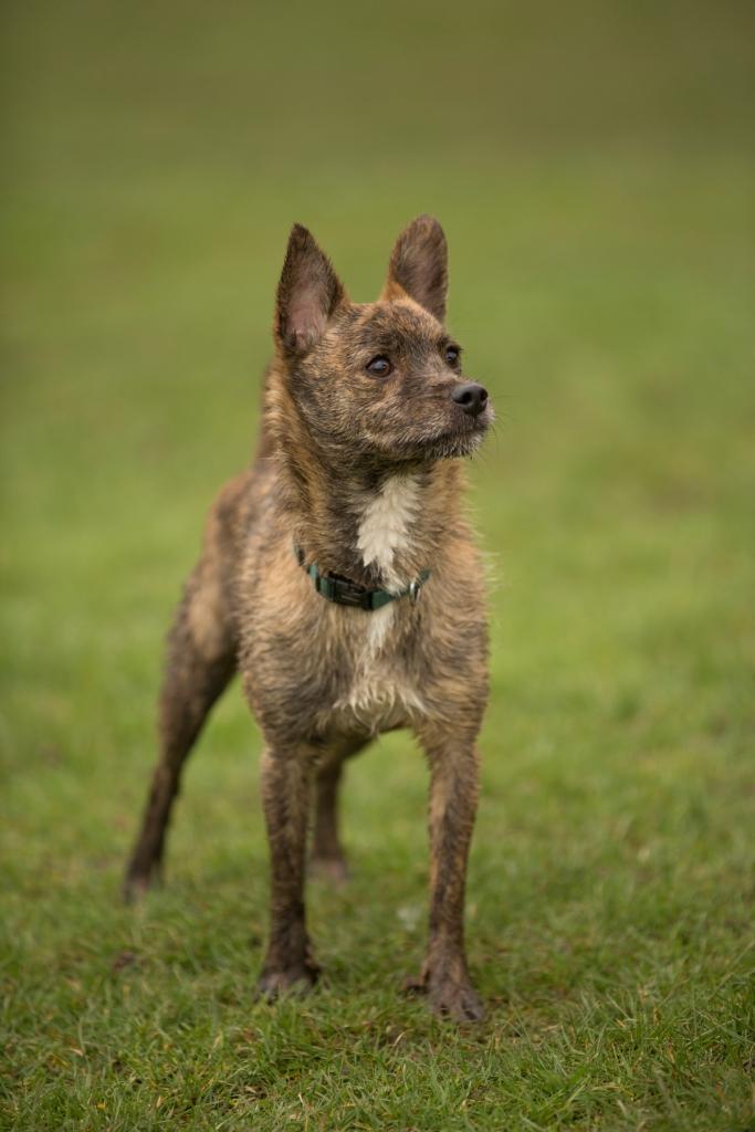 Max Chihuahua
