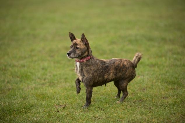 Roxy Chihuahua