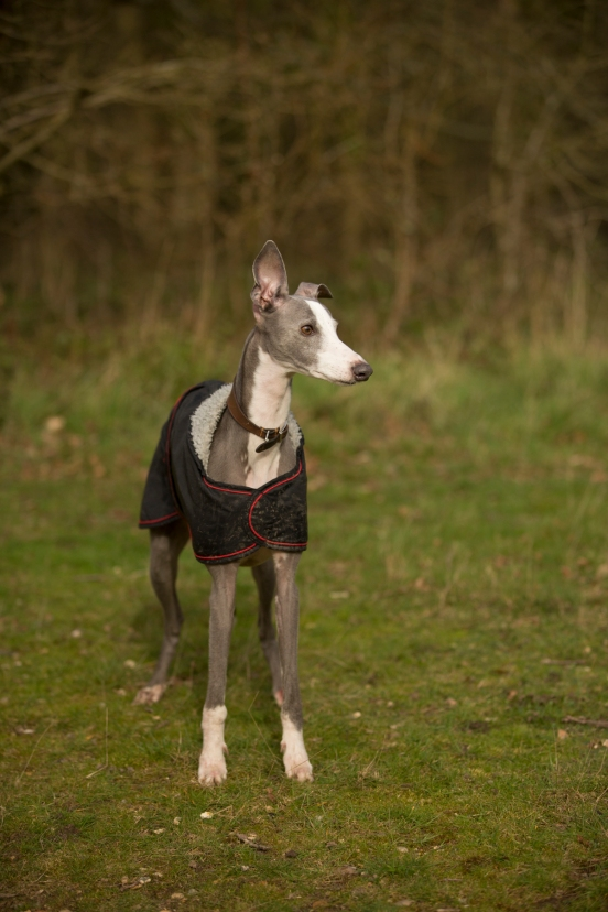 Colin, the Whippet