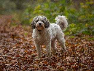 Protected: Marley the Cavapoo